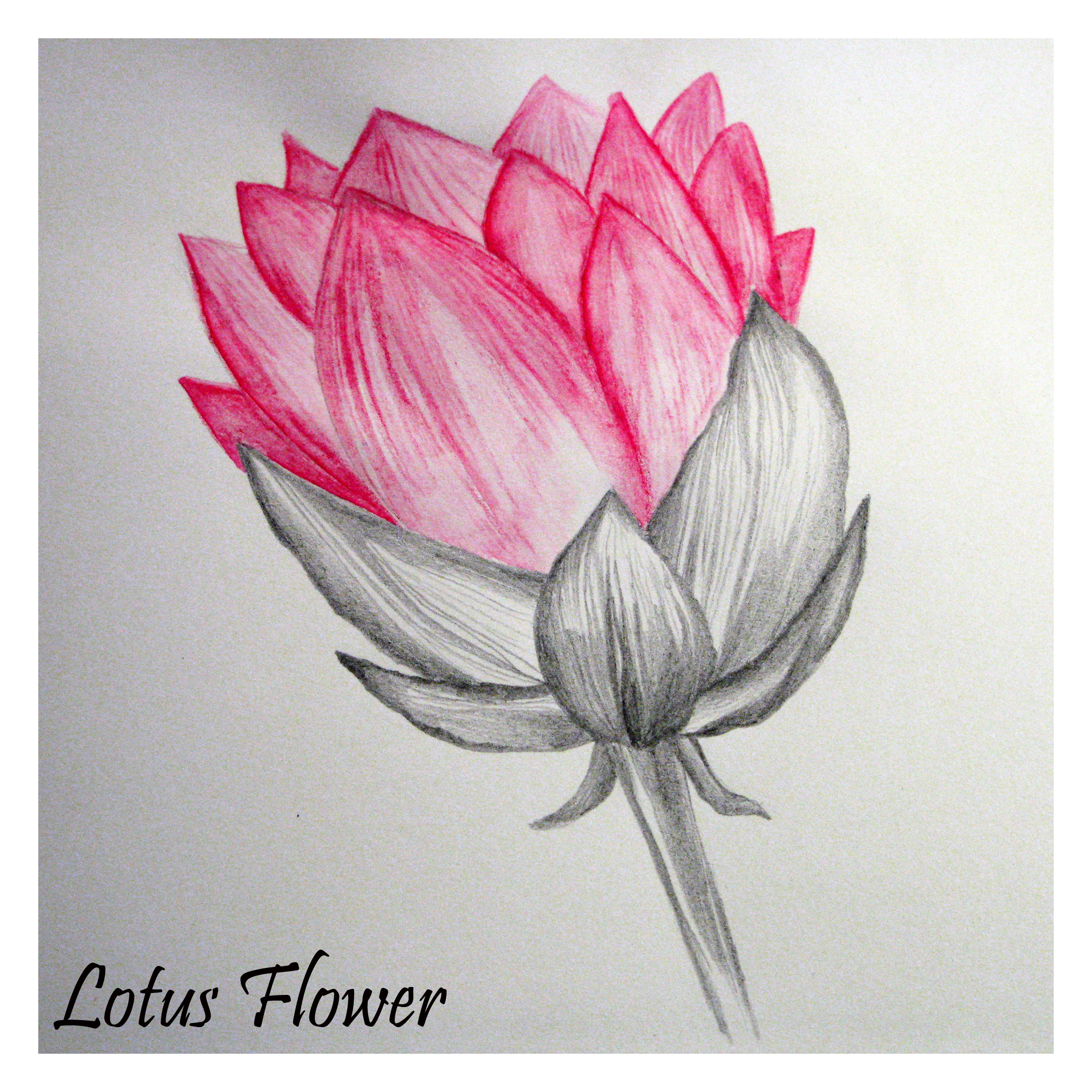 5 Days Of Flower Drawings Day 1 Lotus Flower The Little Leaf